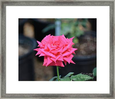 Beautiful Rose 5 Framed Print by Ruth Housley
