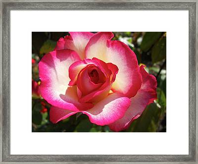 Beautiful Rose Framed Print by Robert Shard