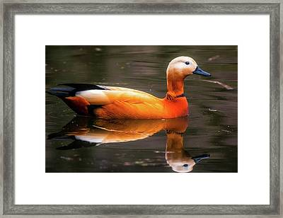 Framed Print featuring the photograph Beautiful Rust Goose by The 3 Cats