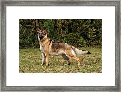 Beautiful Sable German Shepherd Framed Print by Sandy Keeton