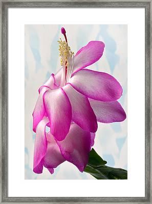 Beautiful Schlumbergera. Framed Print