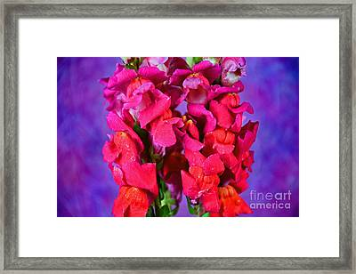 Beautiful Snapdragon Flowers Framed Print by Ray Shrewsberry