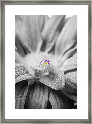 Beautiful Splash Of Purple On A Daisy In The Garden Framed Print