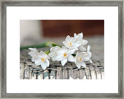 Beautiful Spring Paperwhites Framed Print by Carla Parris