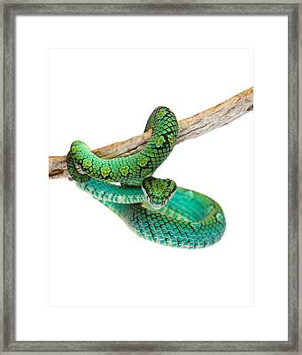Beautiful Sri Lankan Palm Viper Framed Print by Susan Schmitz