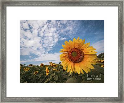 Beautiful Sunflower Plant In The Field, Thailand. Framed Print by Tosporn Preede