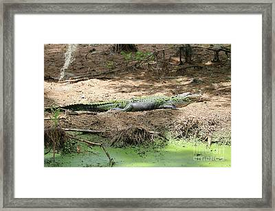 Beautiful Sunning Gator Framed Print