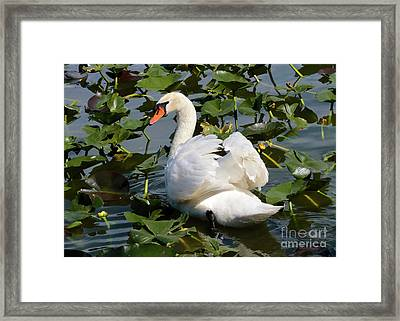 Beautiful Swan In The Lilies Framed Print