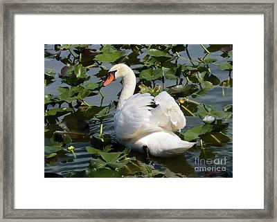 Beautiful Swan In The Lilies Framed Print by Carol Groenen