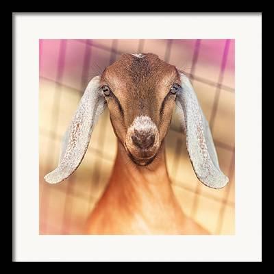 Goats Framed Prints