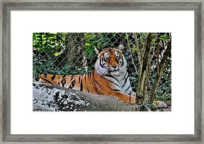 Beautiful Tiger Framed Print