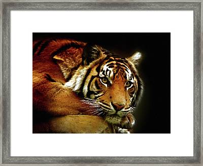 Beautiful Tiger Eyes Watching You Framed Print by Georgiana Romanovna