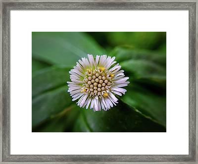 Beautiful White Flower Framed Print by Argie Dante