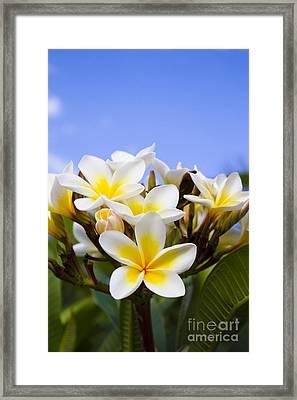 Beautiful White Frangipani Flowers Framed Print by Jorgo Photography - Wall Art Gallery