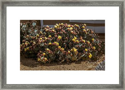 Beautiful Yellow Pickly Pear Cactus Framed Print by Robert Bales
