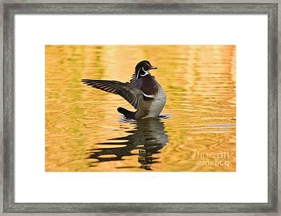 Wood Duck Sunset  Framed Print