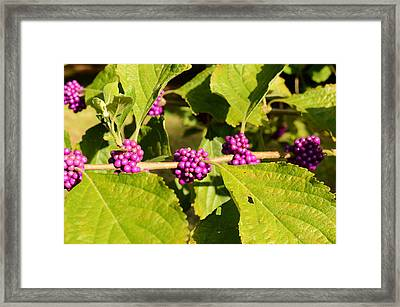 Beauty Berry Horizontal Framed Print by Brianna Culbertson