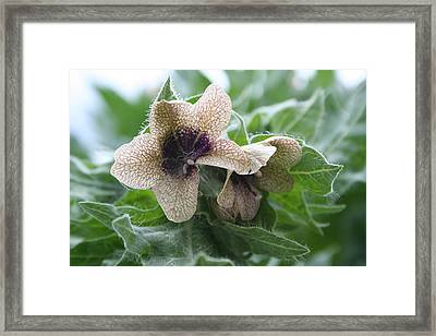Beauty In A Weed Framed Print by Susan Pedrini