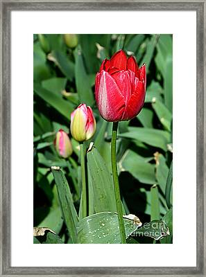 Beauty In Red Framed Print by Kaye Menner