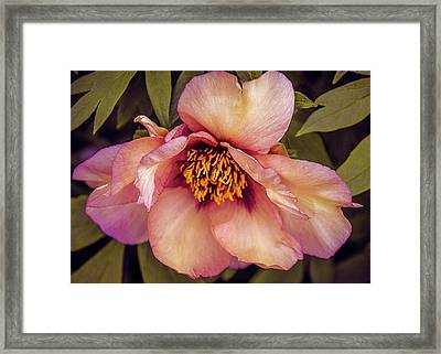 Framed Print featuring the photograph Beauty Of A Peony  by Julie Palencia