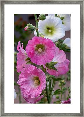 Framed Print featuring the photograph Beauty Of Hollyhocks by Jeanette Oberholtzer