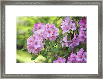Beauty Of Pink Rhododendron Framed Print