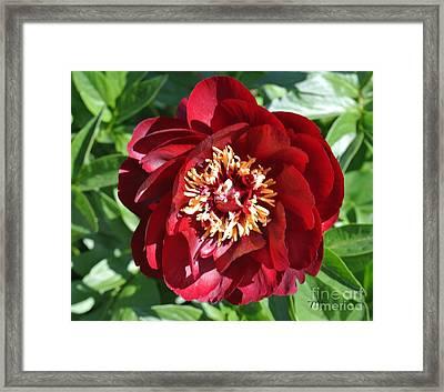 Beauty Peony Bloom Framed Print by Marsha Heiken
