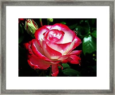 Framed Print featuring the photograph Beauty Rose by Joseph Frank Baraba