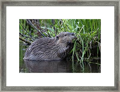 Beaver Framed Print by Ronnie and Frances Howard
