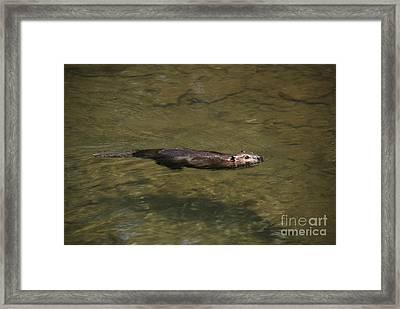 Beaver Swim Framed Print by Randy Bodkins