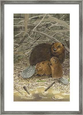Beavers Framed Print by Denny Bond