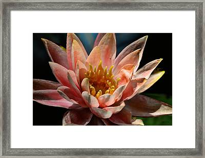 Beckoning The Sun Water Lily Framed Print