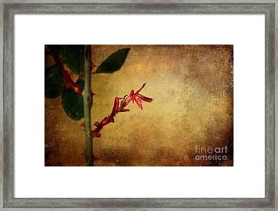Becomes The Rose Framed Print by Ellen Cotton