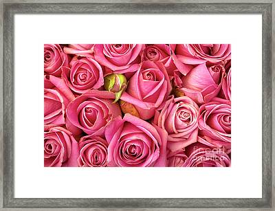 Bed Of Roses Framed Print by Carlos Caetano
