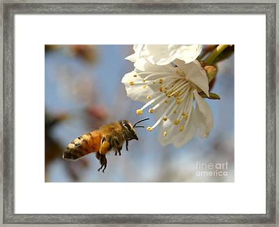 Bee And A Blossom Framed Print by Danny Yanai
