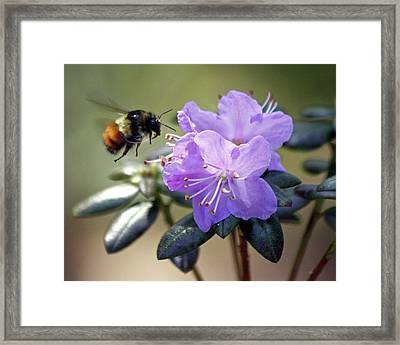 Framed Print featuring the photograph Bee And Bob's Blue by Chris Anderson