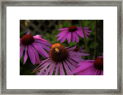 Bee And Coneflower Framed Print