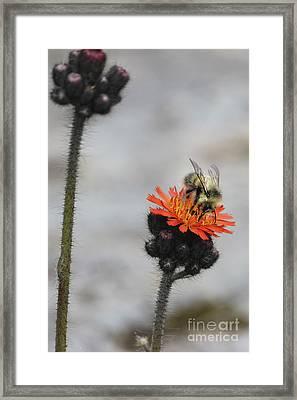 Bee And Hawkweed 2 Framed Print