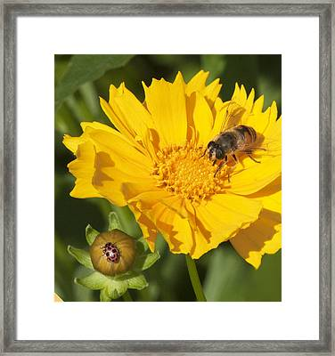 Bee And Ladybug On Coreopsis Framed Print by George Hawkins