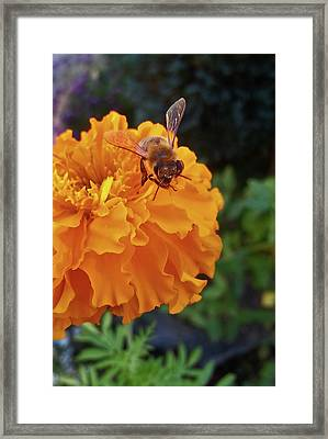Bee And Marigold Framed Print