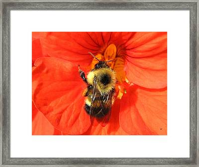 Bee And Nasturtium Framed Print by Will Borden