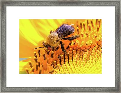 Bee And Sunflower Framed Print