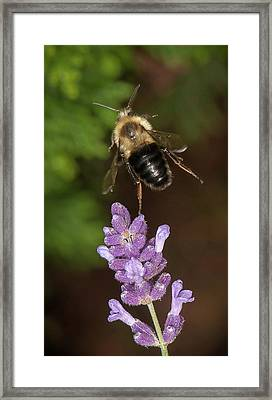 Bee Ballet Framed Print