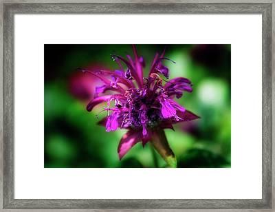 Bee Balm Beauty Framed Print