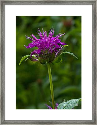 Bee Balm Beauty Framed Print
