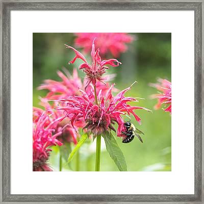 Bee Balm II Square Framed Print by Marianne Campolongo