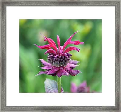 Bee Balm Framed Print
