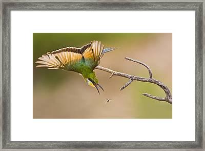 Bee-eater Framed Print by Basie Van Zyl
