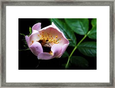 Bee Feast Framed Print by Lucas Mazzeo