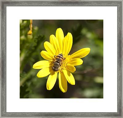 Bee Feeding Framed Print